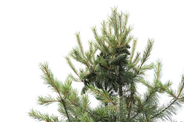 nut pine on the top of tree