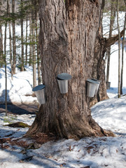 Giant maple tree with traditionnl buckets