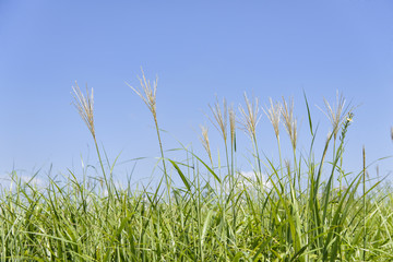 silver grass in a field