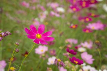 cosmos flowers in a field