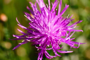 Fiore viola, con insetto sfondo verde prato sfondo cielo
