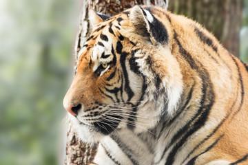 Fototapete - Vigilant tiger