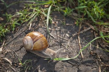 Big snail creeping on a ground.