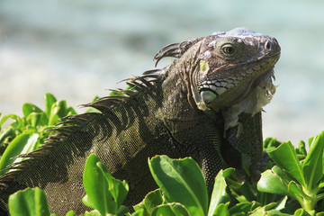 Closeup of a wild Green Iguana, Caribbean, Aruba