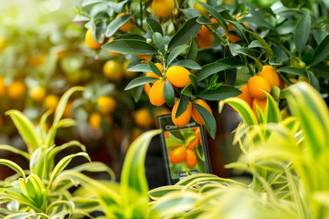 Kumquat in hothouse.
