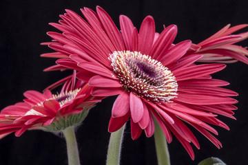 Red flower Gerbera close up - Macro red gerbera