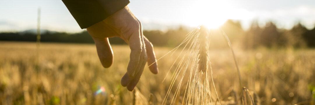 Man touching an ear of wheat at sunrise