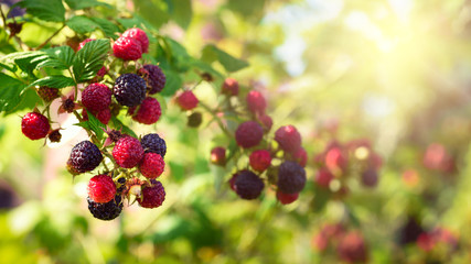 Blackberries bush, homegrown produce concept