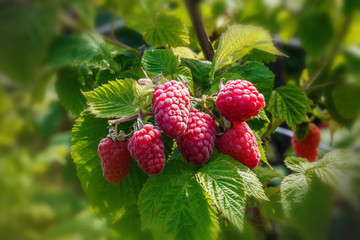 Raspberriy. Growing Organic Berries closeup. Ripe raspberry in the fruit garden