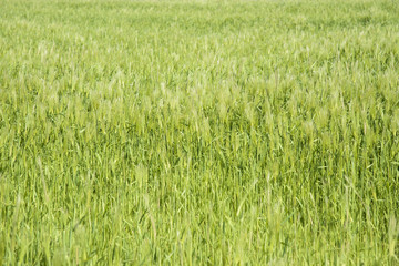 closeup of green barley field