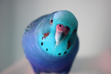 Ice blue male parakeet close up stock photo
