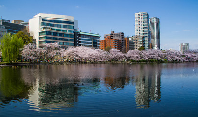Reflection of sakura