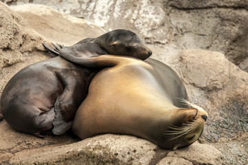 Couple of sea lions hugging affectionatly