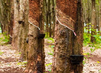 Drops of latex from the rubber trees over 30 years old rubber plantations in Thailand.