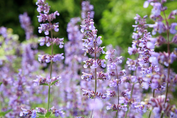 Catnip flowers (Nepeta ) in country rustic garden.