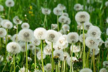 Many dandelions on a field