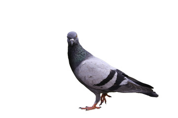 Pigeon is walking