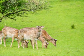 Deer herd on green grass