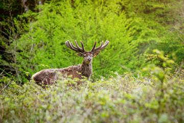 Deer in the morning