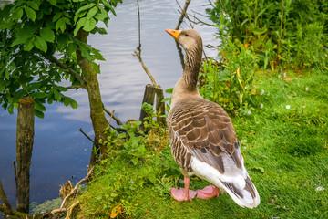 Goose standing near water