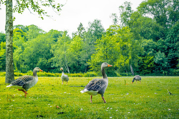 Geese in green nature