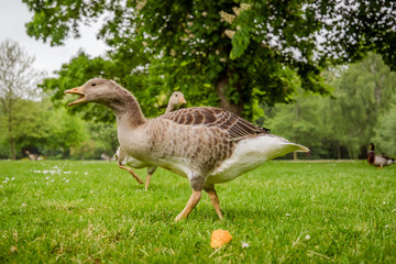 Wild geese in a park
