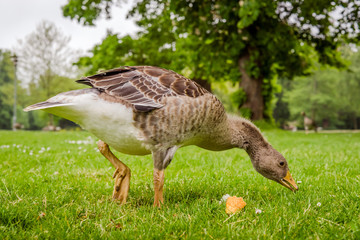 Goose searching for food