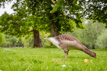 Young goose looking for food