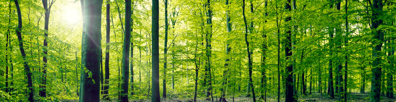Beech forest panorama landscape