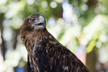 Portrait of a eagle against a blurred background