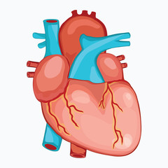 HUMAN HEART ANATOMY illustration vector
