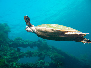 Hawksbil sea turtle