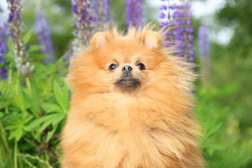 Adorable pomeranian dog looking somewhere up