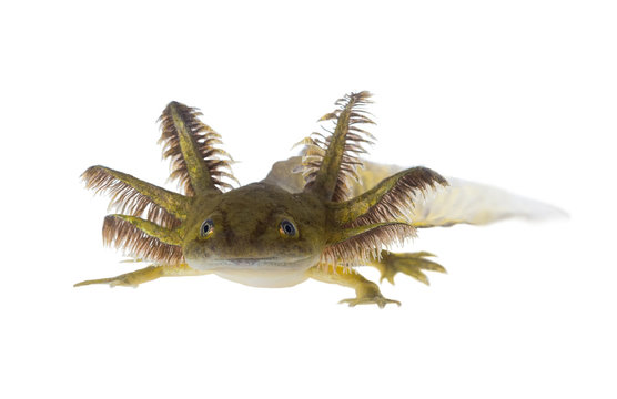 Portrait of a Axolotls are members of the Ambystoma tigrinum (Ti