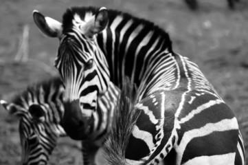 Aluminium Prints ass zebra