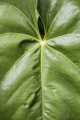 Leaf texture close up