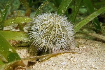 Green sea urchin underwater Caribbean sea