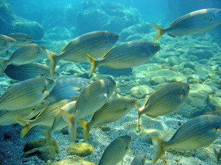 Schooling sea bream fish Sarpa salpa