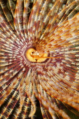 Sea life head of a magnificent feather duster worm