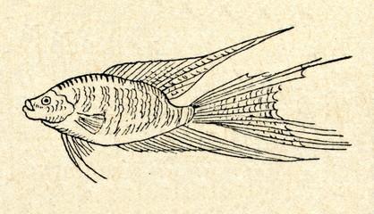 Macropodus
