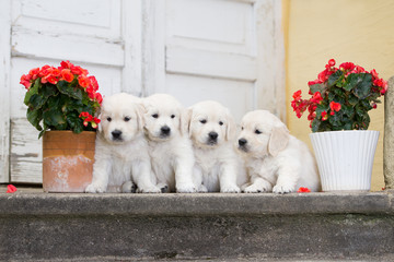 a group of golden retriever puppies