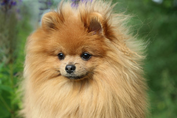 Lovely pomeranian dog on the green background