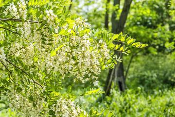 Flowering branch of locust close up