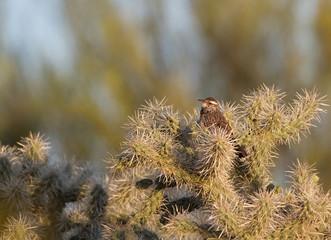 Cactus Wren on a Cholla cactus at dawn in the Sonoran Desert near Tucson, Arizona