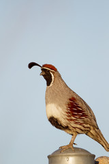 Gambel's Quail on a post in the Sonoran Desert near Tucson, Arizona
