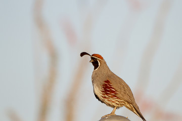 Gambel's Quail in the Sonoran Desert near Tucson, Arizona