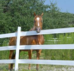 Horse Behind White Fence