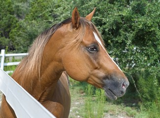 Chestnut Horse in Profile