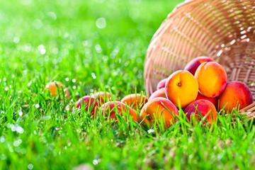 ripe apricots in garden