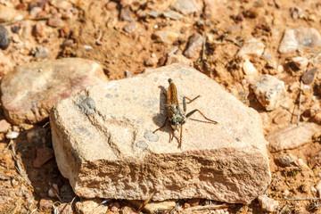 Machimus atricapillus. Asilo, Mosca Cazadora.